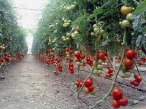 Описание детерминантного сорта помидоров