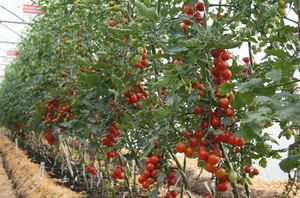 Характеристика индетерминантного сорта томатов