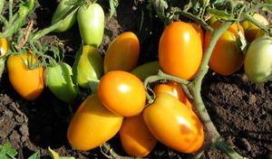 Перечень детерминантных сортов помидор