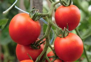 Преимущества и недостатки детерминантных сортов помидор