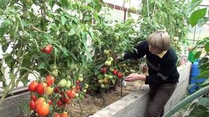 Описание правильного ухода за детерминантными помидорами