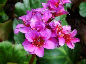 бадан цветок фото