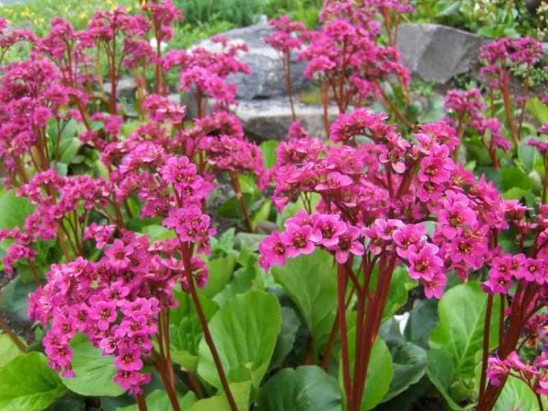 Благоприятные условия для роста цветка бадан