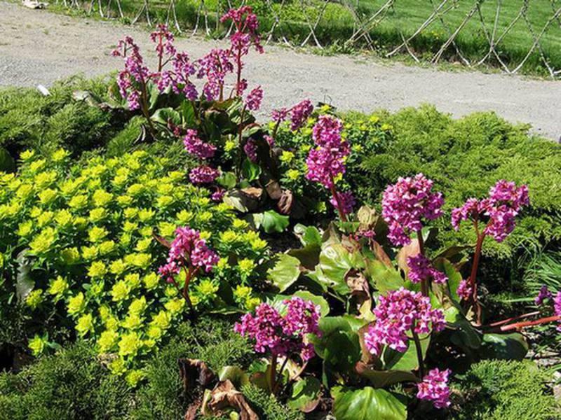 Растение бадан и условия для его роста