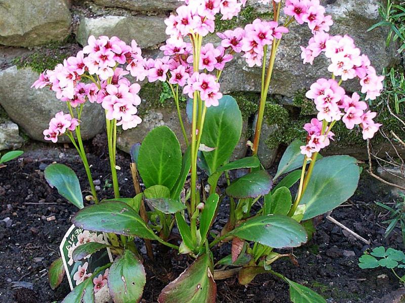 Лекарственные растения в саду