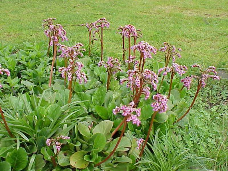 Виды цветка бадан