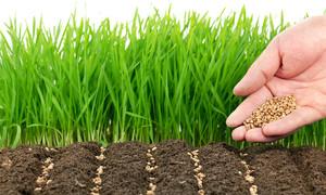 Нюансы выращивания фацелии калифорнийский колокольчик из семян