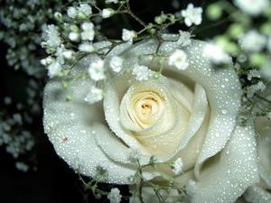 Белые розы можно ли дарить девушке