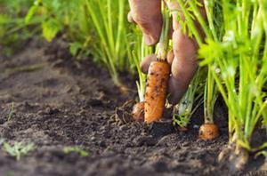 Как сеять морковь когда лучше сажать овощ, особенности правильного ухода и полива
