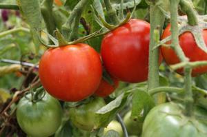 Хорошие сорта томатов для Средней полосы выбор видов для открытого грунта, примеры и советы по уходу