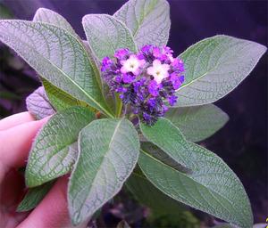 Как вырастить гелиотроп выращивание в домашних условиях из семян и черенков, уход, болезни и