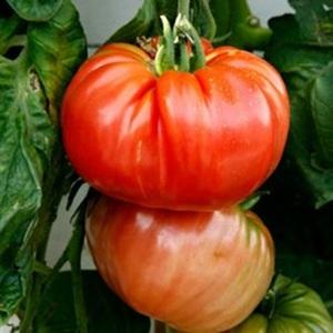 Разновидности сортов томатов