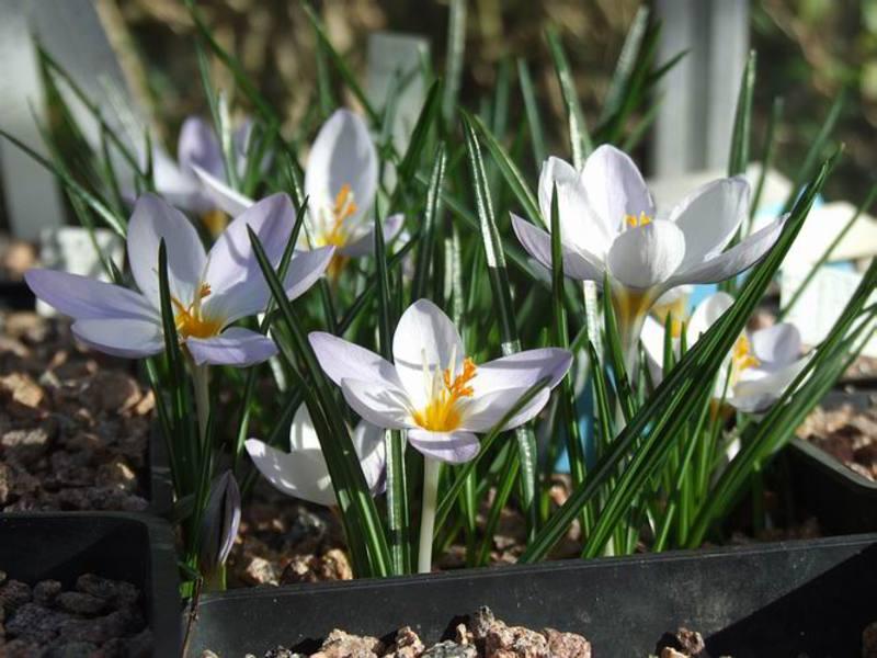 Крокусы выращивание домашних условиях