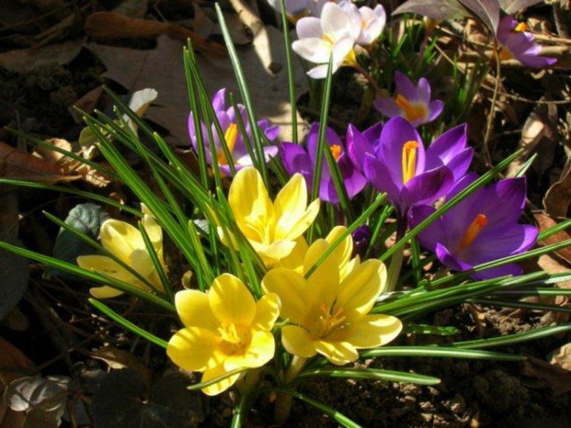 Фото цветов крокусов