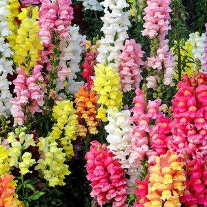 Выращивание львиного зева, рекомендации по высадке антирринума и фото цветов