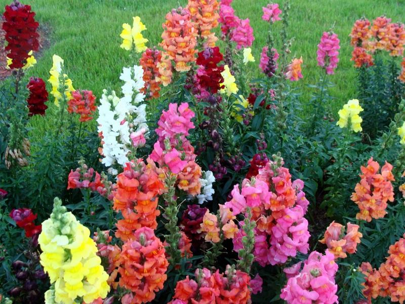 Львиный зёв цветы