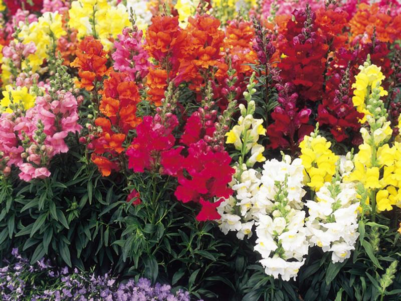 Львиный зев: выращивание и исторические факты о цветке.