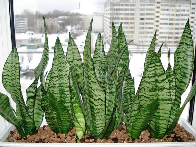 Какая польза или вред организму от цветка «Щучий хвост» характеристика растения, лечебные свойства