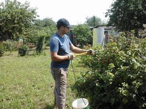 Как и чем обрабатывать смородину весной меры борьбы с болезнями и вредителями, обработка и