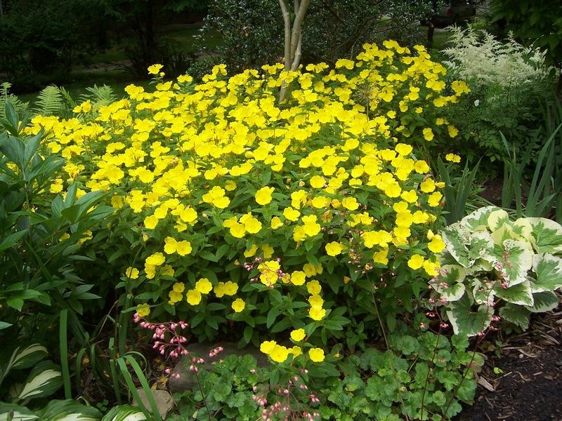 Цветы энотера посадка и уход фото