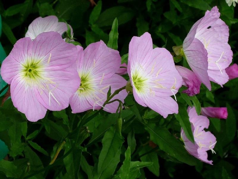 Выращивание энотера розовая 16