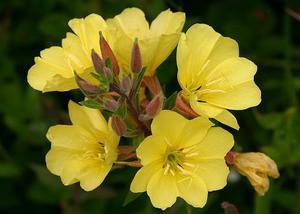Как выращивать энотеру многолетнюю основные требования по уходу, размножение семенами и посадка
