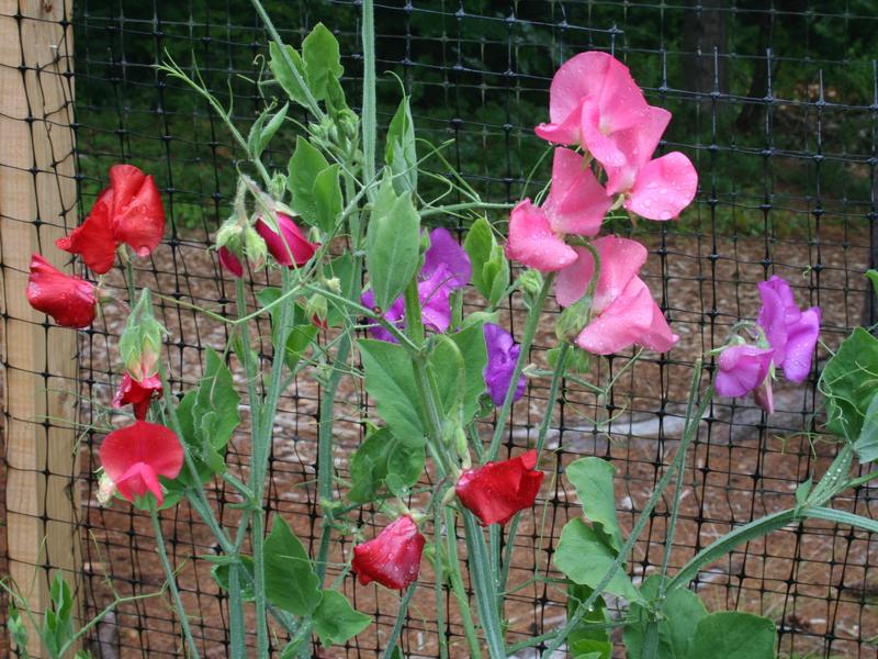 Как посадить и вырастить дешистый горошек