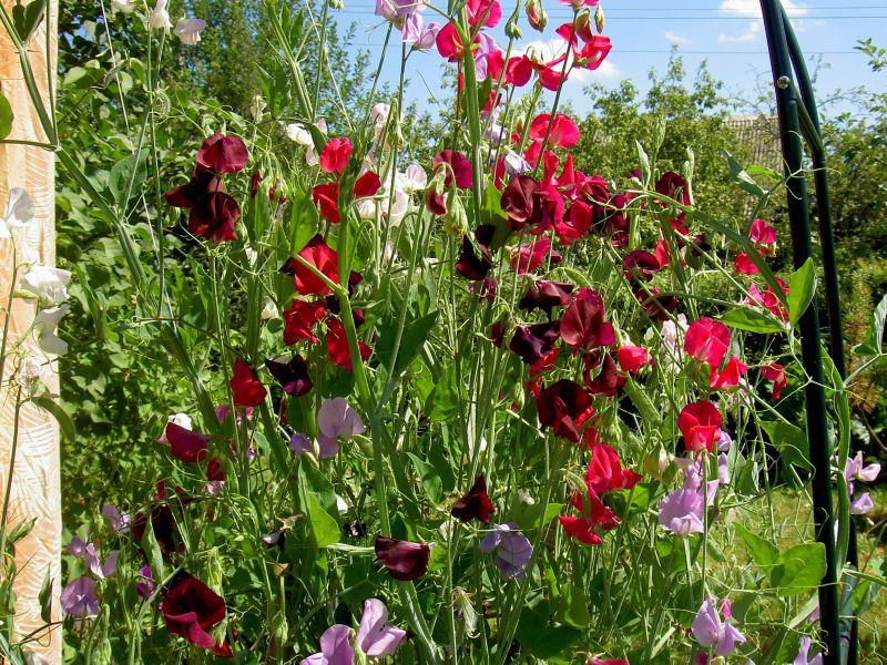 Садовый цветок душистый горошек