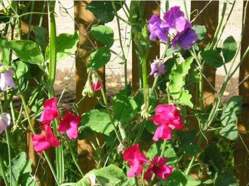 Растение душистый горошек