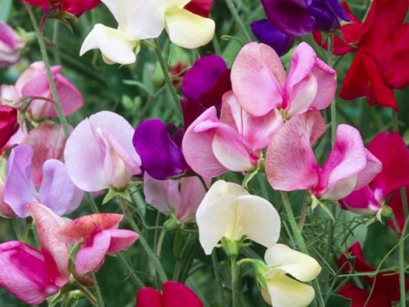 Табак душистый выращивание из семян посадка и уход за ним