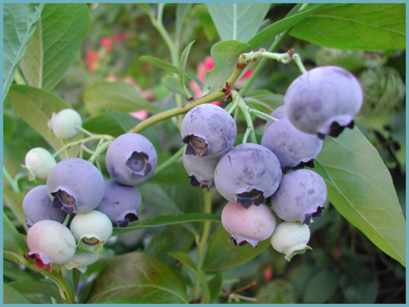Садовая голубика советы по уходу и выращиванию, отзывы о посадке сортов голубики в Подмосковье
