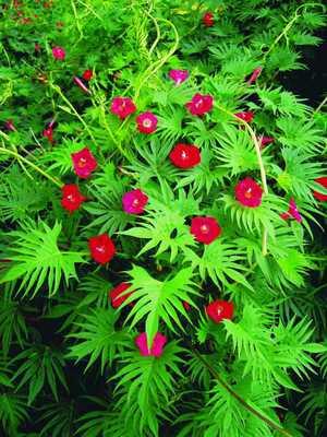 Квамоклит - елка с красными цветами.