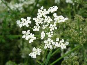 Польза аниса выращивание, состав и полезные свойства, фото растения
