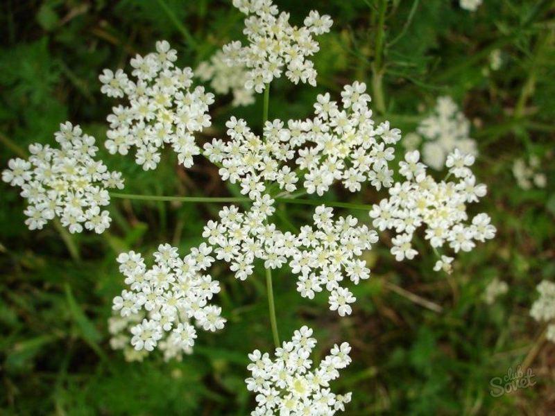 Выращивание и использование аниса