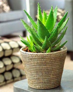 Растение алое