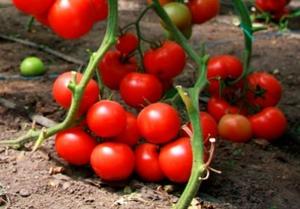 Выращивание томатов в мешках в открытом грунте 98
