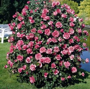 Шрабы и парковые розы в чем отличие