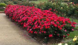Роза-шраб - особенности посадки и ухода за растением, описание морозоустойчивого сорта