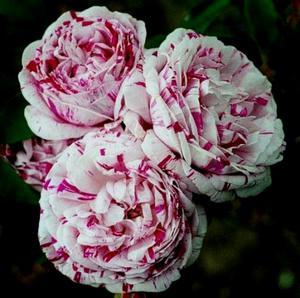 Розы шрабы сорта купить кованные цветы купить