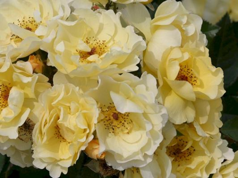 Шрабы розы