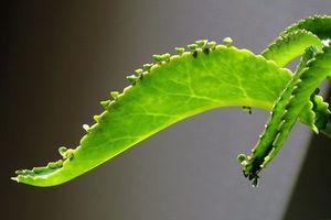 Цветущий и лечебный каланхоэ описание разновидностей с фото, уход за цветком в домашних условиях