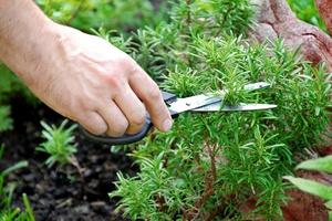 Как посадить и вырастить размарин