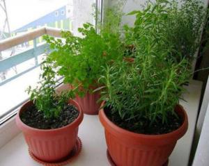 Розмарин выращивание в домашних условиях