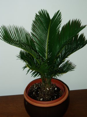 Фото комнатные цветы в виде пальмы и названия