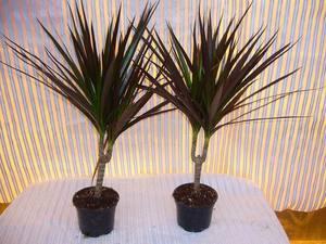 и фото цветы пальма названия домашние