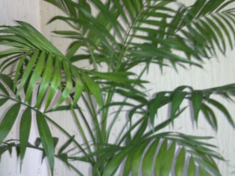 Растение похожее на пальму