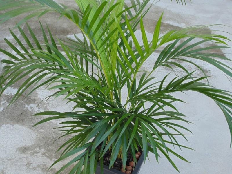 Пальмы сорта, посадка, выращивание, уход и размножение.