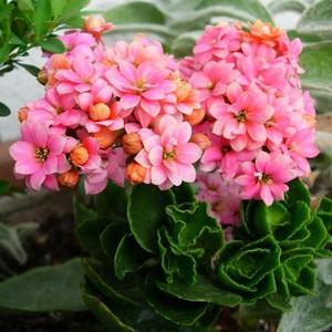 Как размножать каланхоэ в домашних условиях нюансы размножения растения листом, черенками, семенами