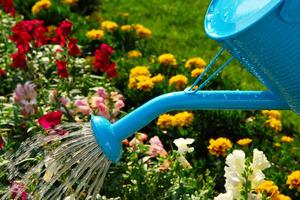 Как правильно выращивать георгины правила выращивания цветов из клубней, уход за георгинами и
