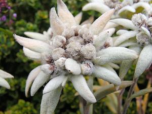 Эдельвейс виды цветка и его выращивание из семян, уход и размножение